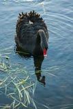 Ciérrese para arriba del cisne que busca para la comida Imagenes de archivo
