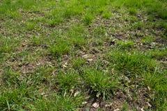 Ciérrese para arriba del claro del bosque cubierto con la hierba Foto de archivo