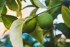 Ciérrese para arriba del colgante verde de dos limones de un árbol con las hojas verdes fotos de archivo