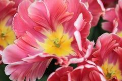 Ciérrese para arriba del corazón de un tulipán rojo con el highlig rosado y blanco Imagen de archivo libre de regalías