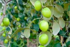 Ciérrese para arriba del crecimiento de frutas de la azufaifa en los árboles en jardín fotos de archivo