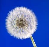 Ciérrese para arriba del diente de león en fondo del cielo azul Fotos de archivo libres de regalías