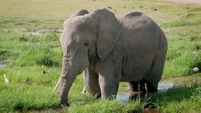 Ciérrese para arriba del elefante africano grande que se coloca en un agua potable de la charca y del tronco del fango almacen de video