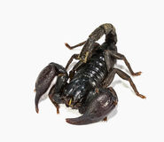 Escorpión negro Imágenes de archivo libres de regalías