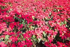 Ciérrese para arriba del flor rojo de la planta de la poinsetia de la Navidad Fotografía de archivo