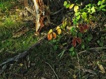 Ciérrese para arriba del follaje temprano de Alutumn imagenes de archivo