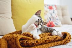 Ciérrese para arriba del gatito que pone en el sofá y que se lame la pata Fotos de archivo