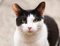 Ciérrese para arriba del gato blanco y negro con los oídos acentuados Fotos de archivo