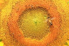 Ciérrese para arriba del girasol Foto de archivo libre de regalías