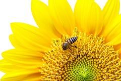 Ciérrese para arriba del girasol con la abeja. Fotografía de archivo