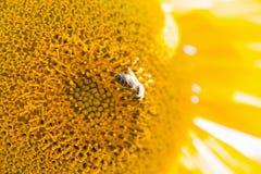 Ciérrese para arriba del girasol con la abeja Foto de archivo