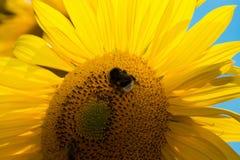 Ciérrese para arriba del girasol con la abeja Fotografía de archivo
