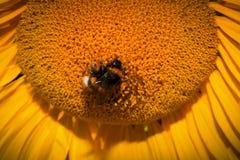 Ciérrese para arriba del girasol con la abeja Fotografía de archivo libre de regalías
