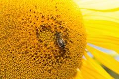 Ciérrese para arriba del girasol con la abeja Fotos de archivo