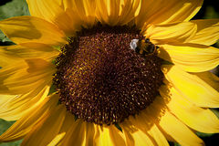 Ciérrese para arriba del girasol con la abeja Imagenes de archivo