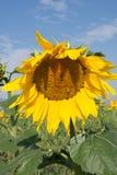 Ciérrese para arriba del girasol con la abeja Imágenes de archivo libres de regalías