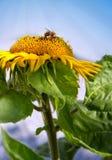 Ciérrese para arriba del girasol y del abejorro Fotos de archivo