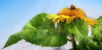 Ciérrese para arriba del girasol y del abejorro Fotografía de archivo