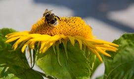 Ciérrese para arriba del girasol y del abejorro Fotos de archivo libres de regalías