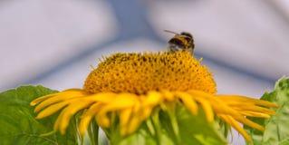 Ciérrese para arriba del girasol y del abejorro Imágenes de archivo libres de regalías