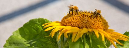 Ciérrese para arriba del girasol y de dos abejorros Imagenes de archivo