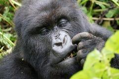 Ciérrese para arriba del gorila de montaña que come el bambú fotografía de archivo