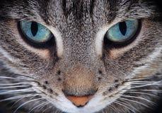 Ciérrese para arriba del hocico del gato Imagenes de archivo