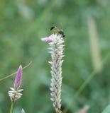 Ciérrese para arriba del insecto que recoge el néctar en una flor Fotografía de archivo libre de regalías