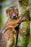Ciérrese para arriba del lémur lanoso que se aferra en el árbol Fotografía de archivo libre de regalías