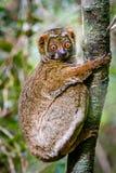 Ciérrese para arriba del lémur lanoso que se aferra en el árbol Foto de archivo