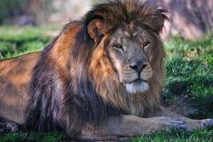 Ciérrese para arriba del león Fotos de archivo