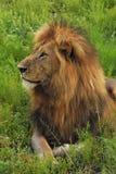 Ciérrese para arriba del león masculino que pone en la hierba Imagen de archivo libre de regalías