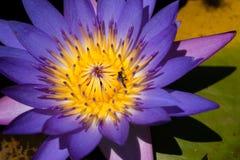 Ciérrese para arriba del lirio de agua violeta, abeja en la flor Imágenes de archivo libres de regalías