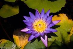 Ciérrese para arriba del lirio de agua violeta, abeja en la flor Fotografía de archivo libre de regalías