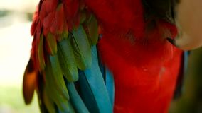 Ciérrese para arriba del loro o del Ara rojo Macao del Macaw del escarlata del Amazonas, en el retrato colorido de la selva de la almacen de video