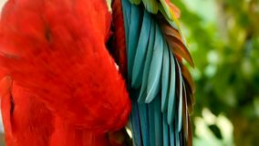 Ciérrese para arriba del loro o del Ara rojo Macao del Macaw del escarlata del Amazonas, en el retrato colorido de la selva de la almacen de metraje de vídeo