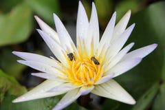 Ciérrese para arriba del loto blanco y de la abeja Fotografía de archivo