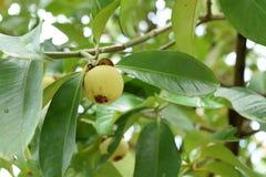 Ciérrese para arriba del mangostán en un árbol El mangostán es una de las frutas tropicales populares, exóticas Su jugoso, blanco fotografía de archivo