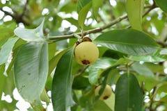 Ciérrese para arriba del mangostán en un árbol El mangostán es una de las frutas tropicales populares, exóticas Su jugoso, blanco imágenes de archivo libres de regalías