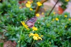 Ciérrese para arriba del néctar que busca de la mariposa en una flor Fotos de archivo