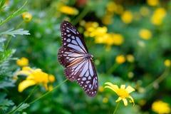 Ciérrese para arriba del néctar que busca de la mariposa en una flor Foto de archivo libre de regalías