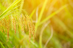 Ciérrese para arriba del oído del arroz Imagen de archivo