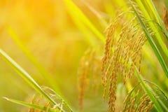 Ciérrese para arriba del oído del arroz Imágenes de archivo libres de regalías