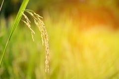 Ciérrese para arriba del oído del arroz Fotos de archivo libres de regalías