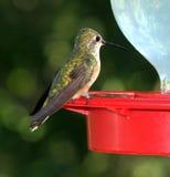 Ciérrese para arriba del pájaro del tarareo encaramado en alimentador Fotos de archivo libres de regalías
