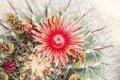 Ciérrese para arriba del pétalo rojo de las flores del cactus Imagenes de archivo