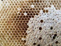 Ciérrese para arriba del panal en naturaleza después de las abejas con hojas Imagenes de archivo