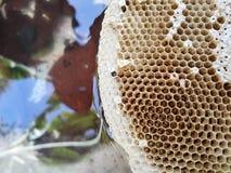 Ciérrese para arriba del panal en naturaleza después de las abejas con hojas Fotos de archivo libres de regalías