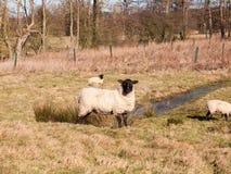 ciérrese para arriba del pasto de reclinación de las ovejas comiendo la hierba en primavera del verano del campo Fotos de archivo