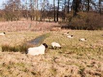 ciérrese para arriba del pasto de reclinación de las ovejas comiendo la hierba en primavera del verano del campo Fotografía de archivo libre de regalías